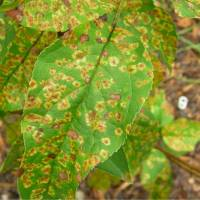 diseased plant leaf